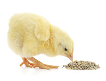Enzymes Used In Poultry Feed